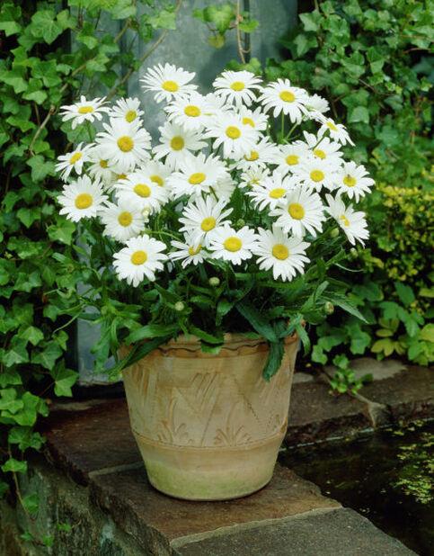 Prinsessankakkara , Korkeus 15 cm, Valkoinen