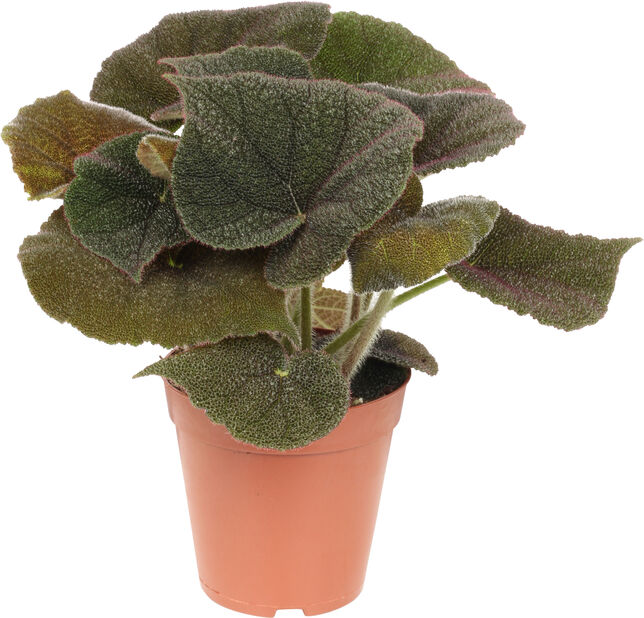 Begonia, Korkeus 30 cm, Viininpunainen