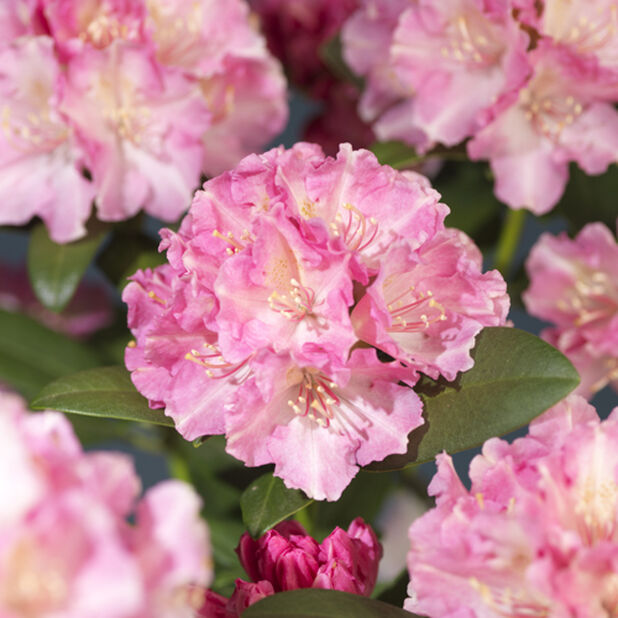 Yakushimanalppiruusu 'Doc', Ø21 cm, Pinkki