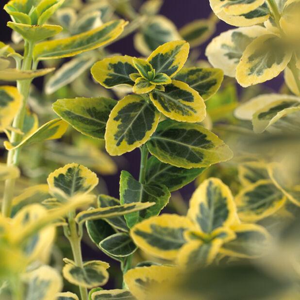 Sorvarinpensas 'Emerald'n Gold'', Korkeus 25-30 cm, Vihreä