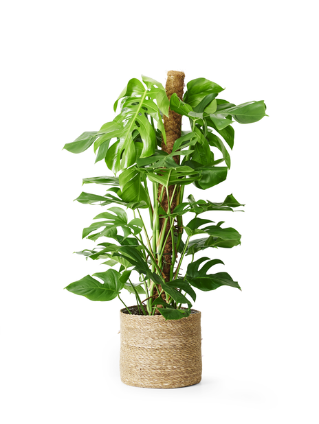 Peikonlehti, Korkeus 120 cm, Vihreä