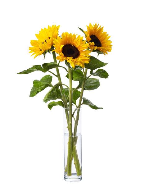 Auringonkukkia 3-pakk, Korkeus 60 cm, Keltainen