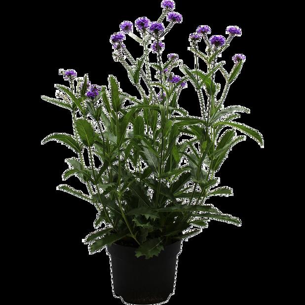 Verbena 'Venosa', Ø19 cm, Violetti