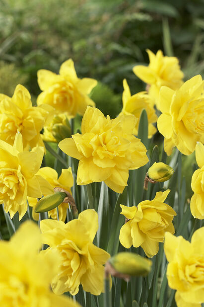 Narcissus 'Golden Ducat', Useita värejä