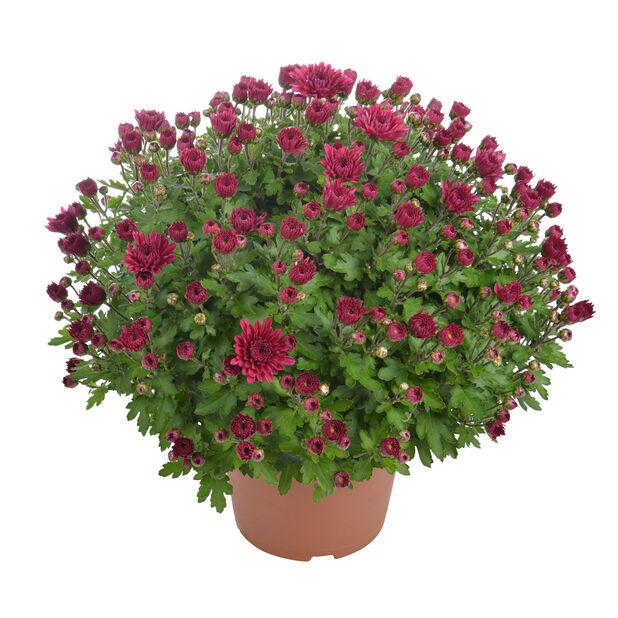 Pallokrysanteemi 14 cm lila
