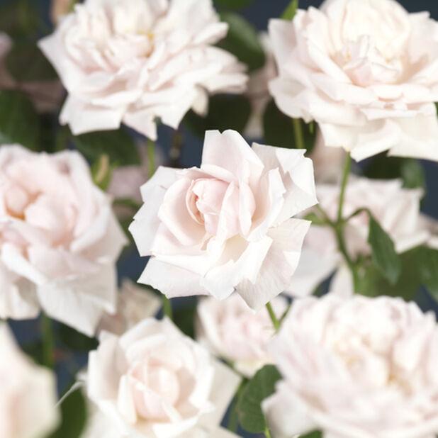 Köynnösruusu 'New Dawn', Korkeus 100 cm, Pinkki