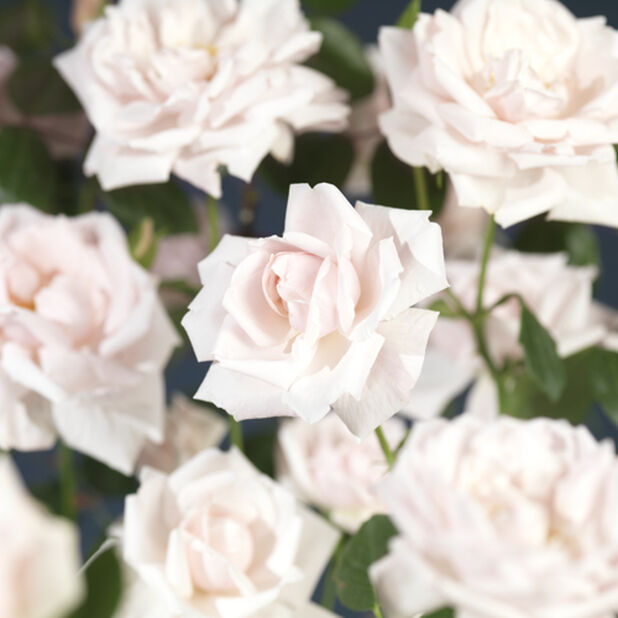 Köynnösruusu 'New Dawn' , Korkeus 100 cm, Pinkki