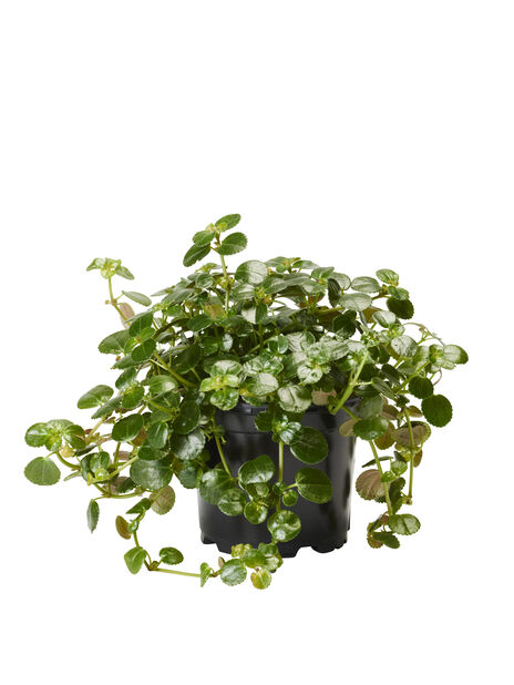 Kiiltopiilea, Korkeus 15 cm, Vihreä