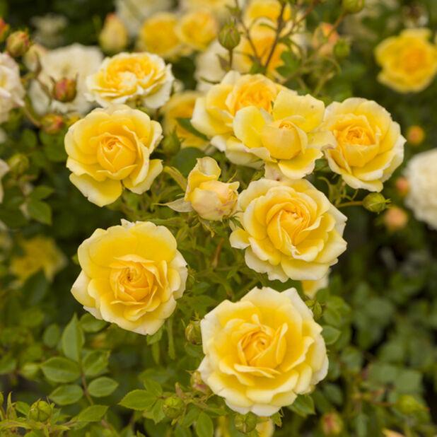 Runkoruusu, Korkeus 60 cm, Keltainen