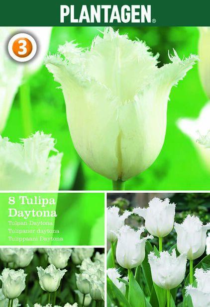 Tulppaani 'Daytona', Valkoinen