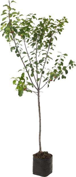 Perheomenapuu, Korkeus 180 cm, Monivärinen