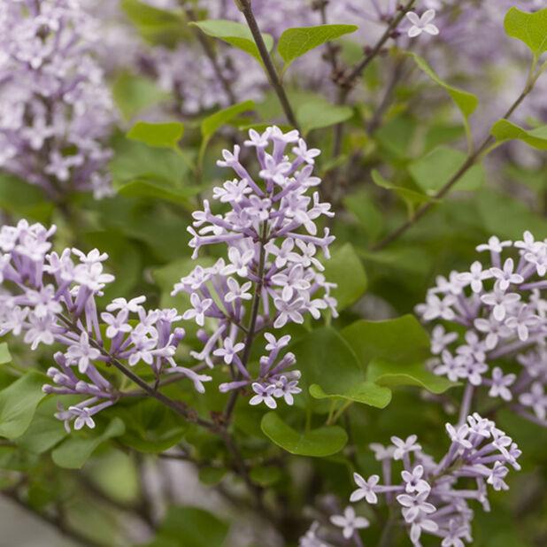 Pikkusyreeni 'Flowerfesta purple', Korkeus 50 cm, Violetti