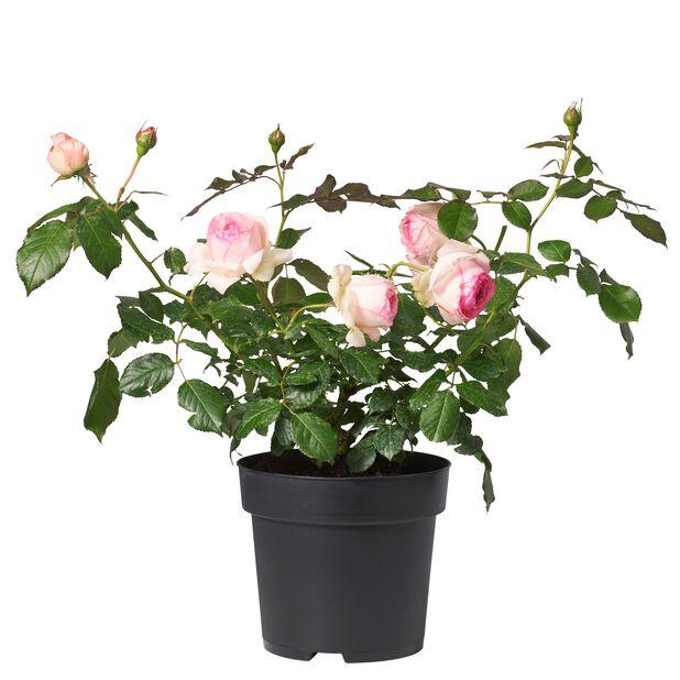 Isokukkainen ruusu 'Eden Rose', Ø23 cm, Pinkki