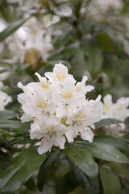 Puistoalppiruusu, Ø32 cm, Valkoinen