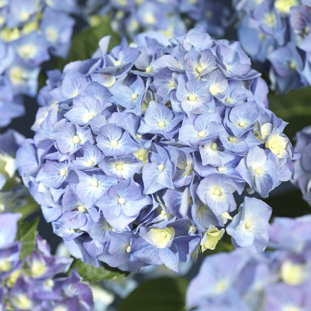 Jalohortensia, Ø29 cm, Sininen
