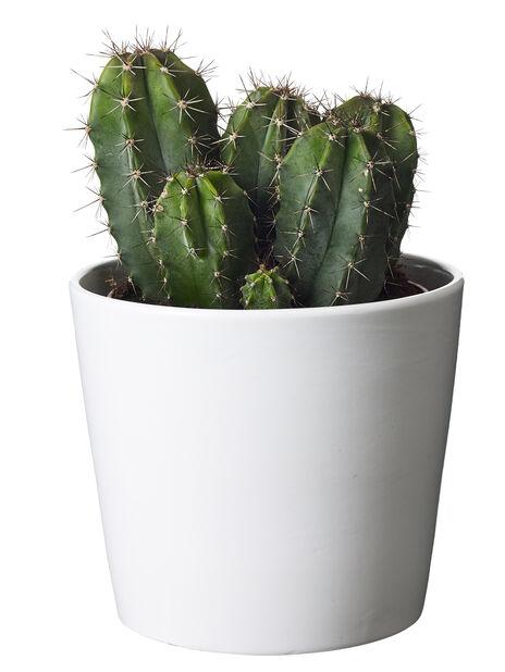 Kaktus-lajitelma, Korkeus 25 cm, Vihreä