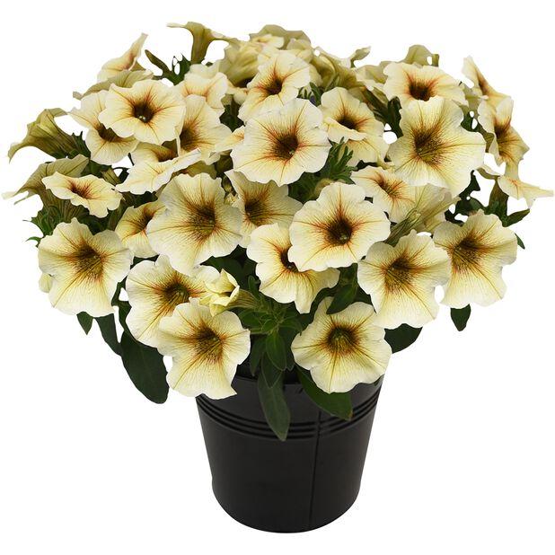 Petunia 'Beautical', Ø12 cm, Useita värejä