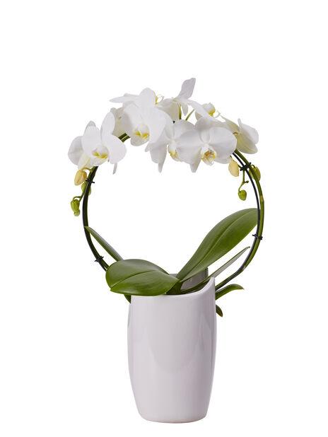 Perhosorkidea, Korkeus 40 cm, Valkoinen