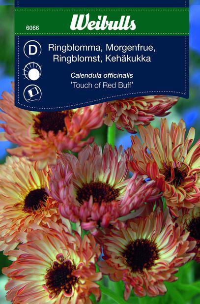 Kehäkukka 'Touch of Red Buff'