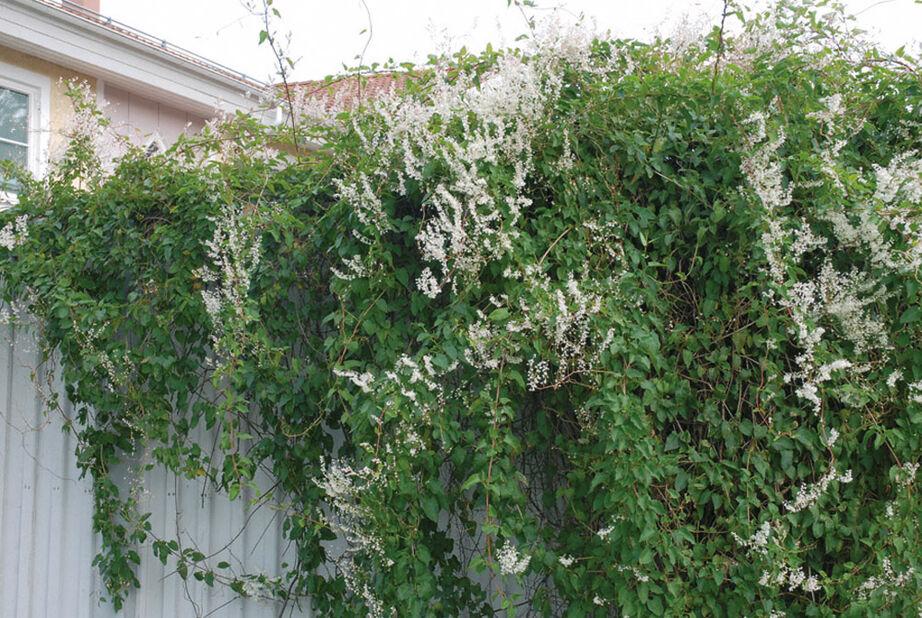 Kiertotatar, Korkeus 70 cm, Valkoinen