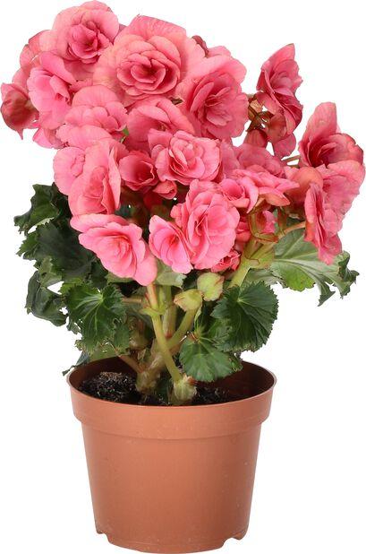 Begonia, Korkeus 25 cm, Pinkki