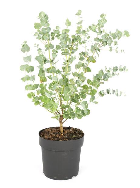 Hopeaeukalyptus 'Azura', Ø17 cm, Harmaa