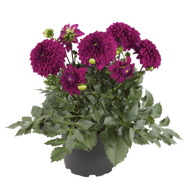 Dahlia Purple 19 cm