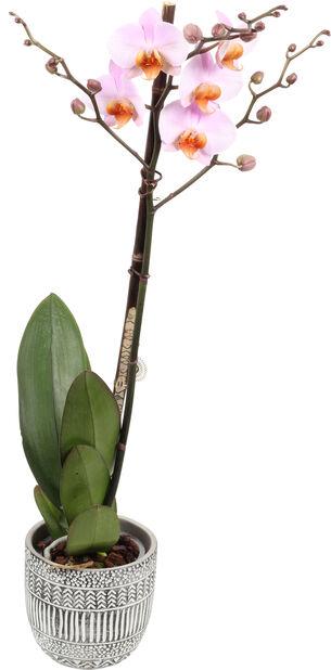Perhosorkidea 'Hadithi', Korkeus 65 cm, Useita värejä
