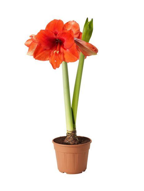 Amaryllis 2-vanainen 13 cm punainen
