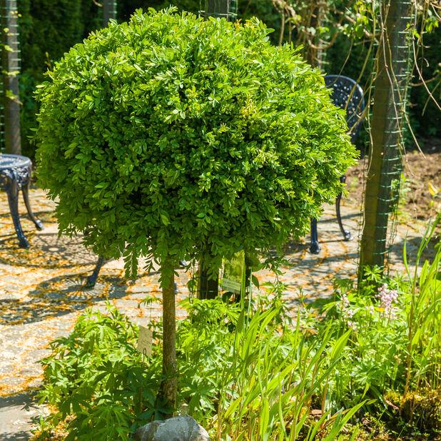 Puksipuu rungollinen, Korkeus 80 cm, Vihreä