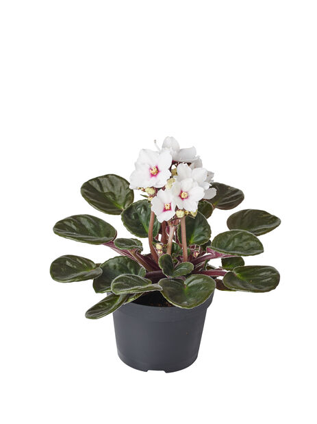 Paavalinkukka, Korkeus 15 cm, Valkoinen