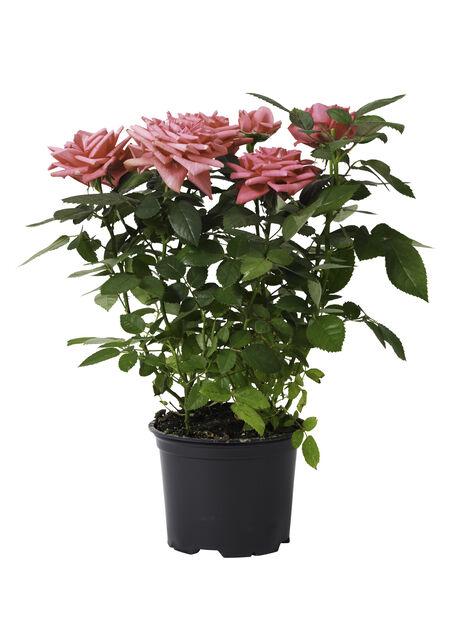 Rosa Kordana Pink 15 cm