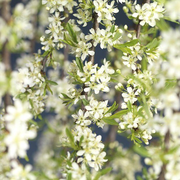 Lamohietakirsikka, Korkeus 30 cm, Valkoinen