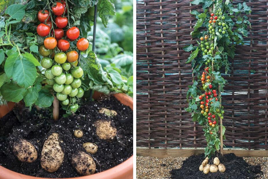 Tomaatin & perunan taimi