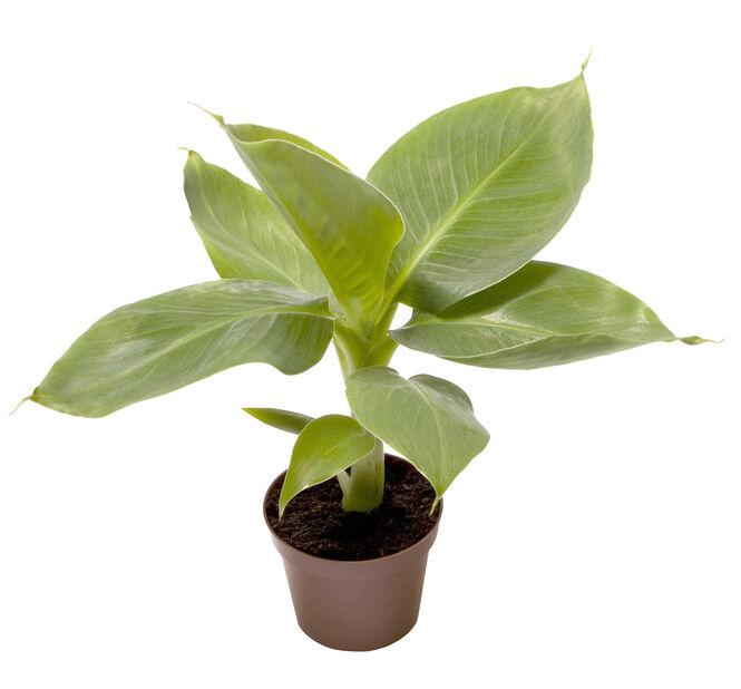 Banaani minikokoinen, Korkeus 10 cm, Vihreä