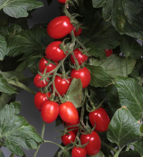 Luumutomaatti 'Luciebell', Ø12 cm, Punainen