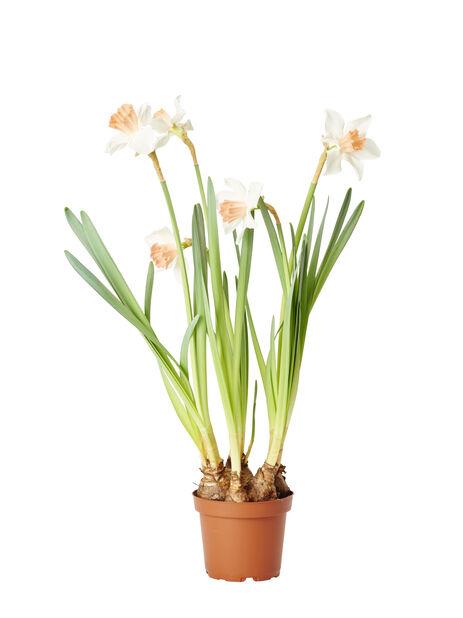 Narsissi 12 cm
