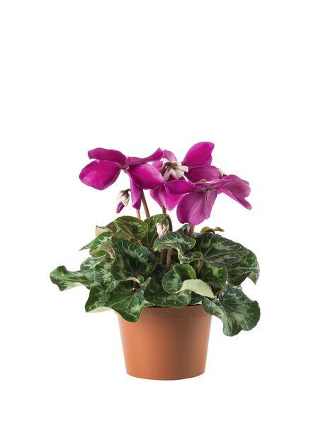 Syklaami 'Fleur en Vouge Pink', Ø12 cm, Pinkki