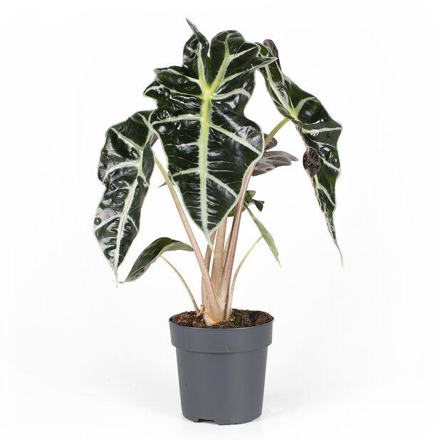 Alokasia 'Amazonica', Korkeus 35 cm, Vihreä