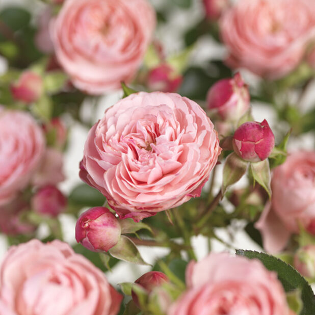 Terassiruusu 'Meilove roosa' , Ø23 cm, Pinkki