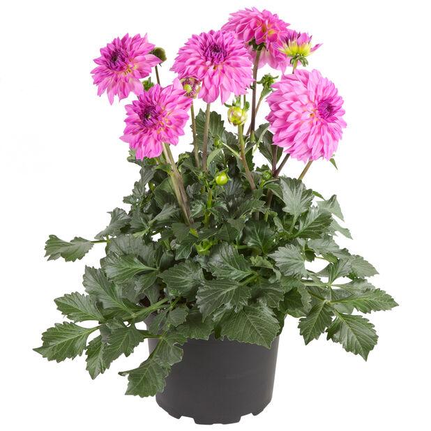 Dahlia Pink 19 cm