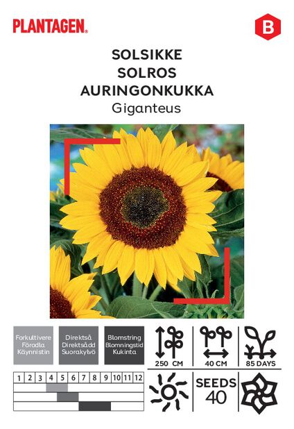 Auringonkukka 'single giant'