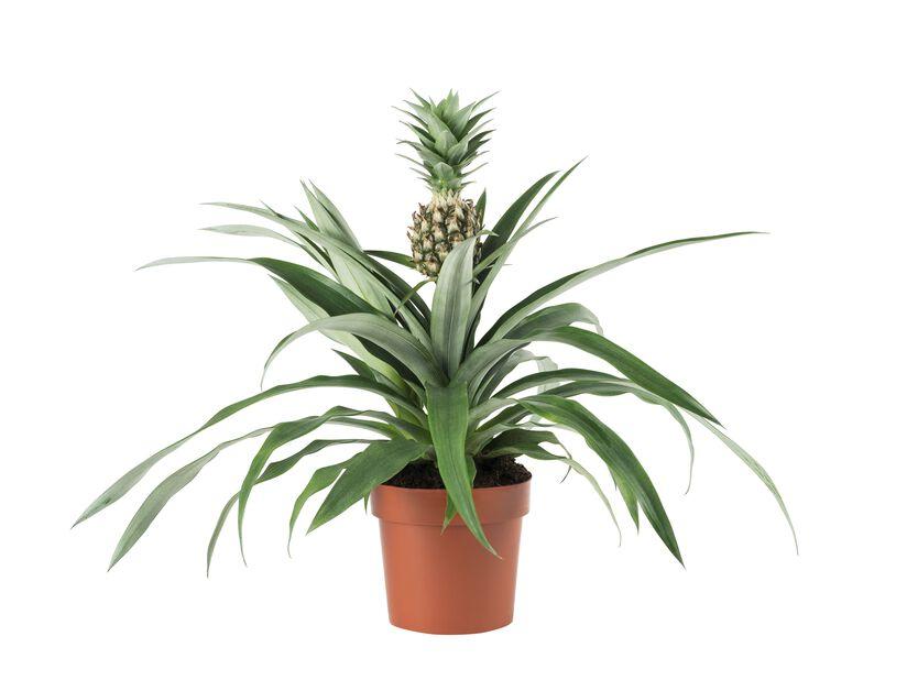 Ananas 'Corona', Korkeus 45 cm, Vihreä