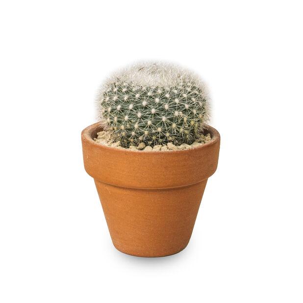 Kaktuslajitelma terrakottaruukussa, Korkeus 6 cm, Vihreä