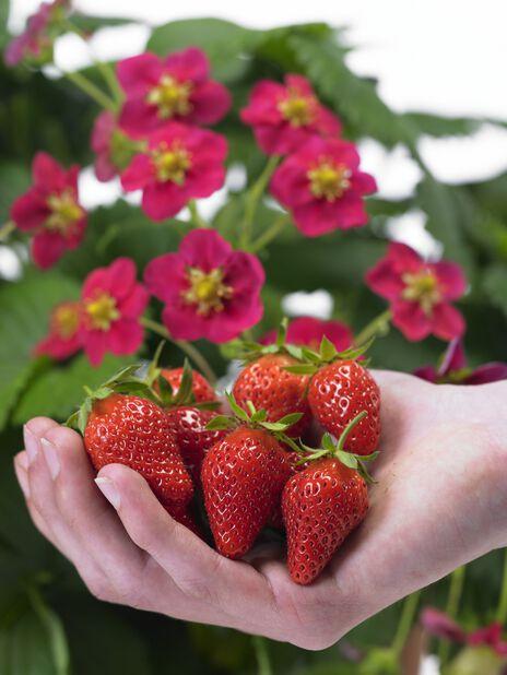 Mansikka 'Ruby Ann' , 6 kpl, Punainen
