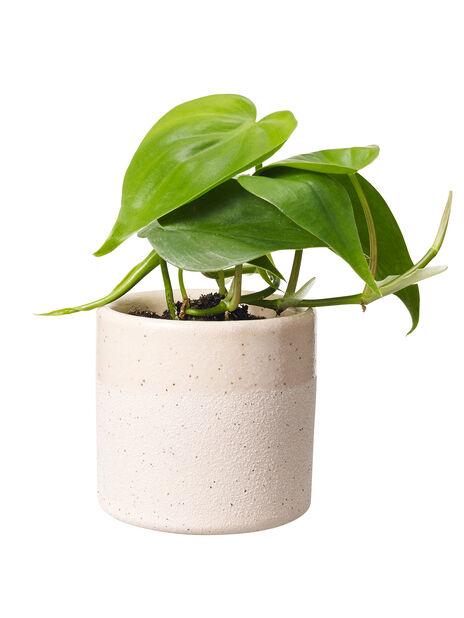 Miniviherkasvi , Korkeus 7 cm, Vihreä