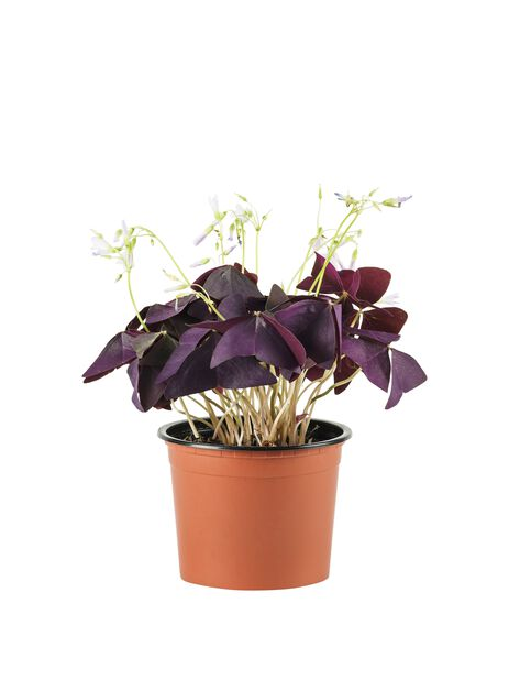 Kolmiokäenkaali, Korkeus 25 cm, Violetti