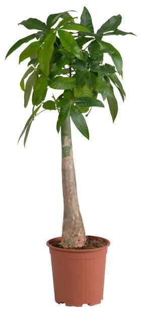 Kastanjasutipuu, Korkeus 100 cm, Vihreä