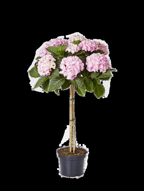Jalohortensia rungollinen, Korkeus 85 cm, Pinkki