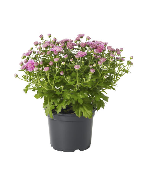 Pallokrysanteemi, Ø12 cm, Violetti